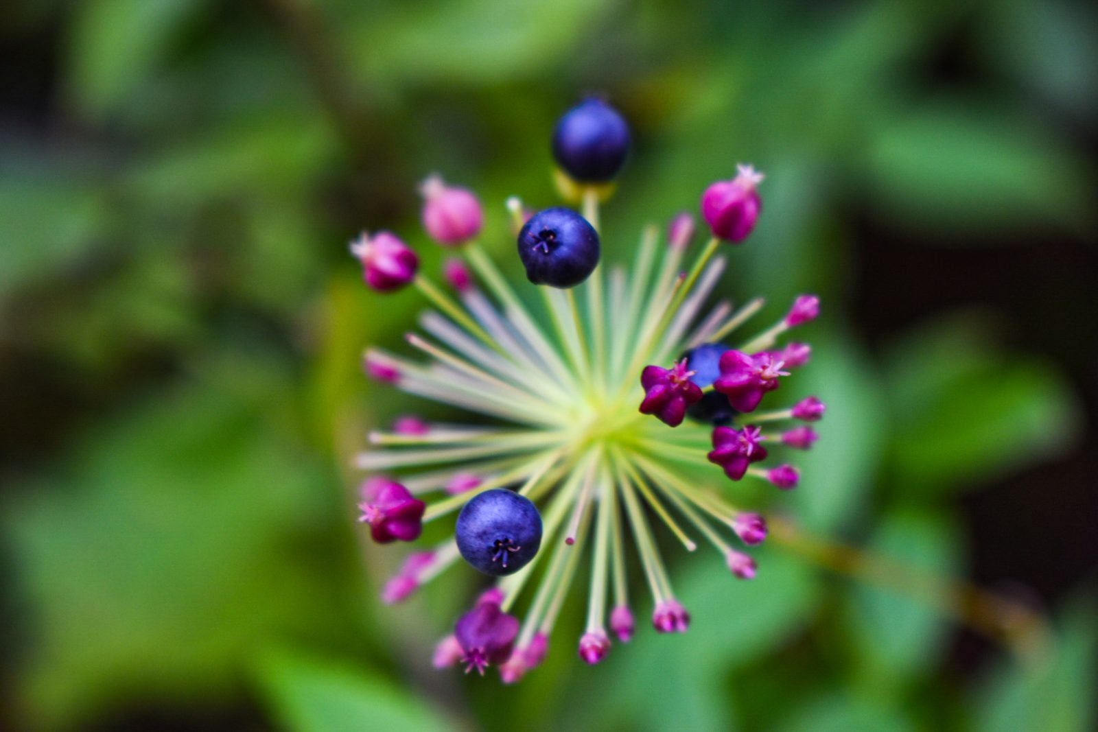 Berry in a Burst