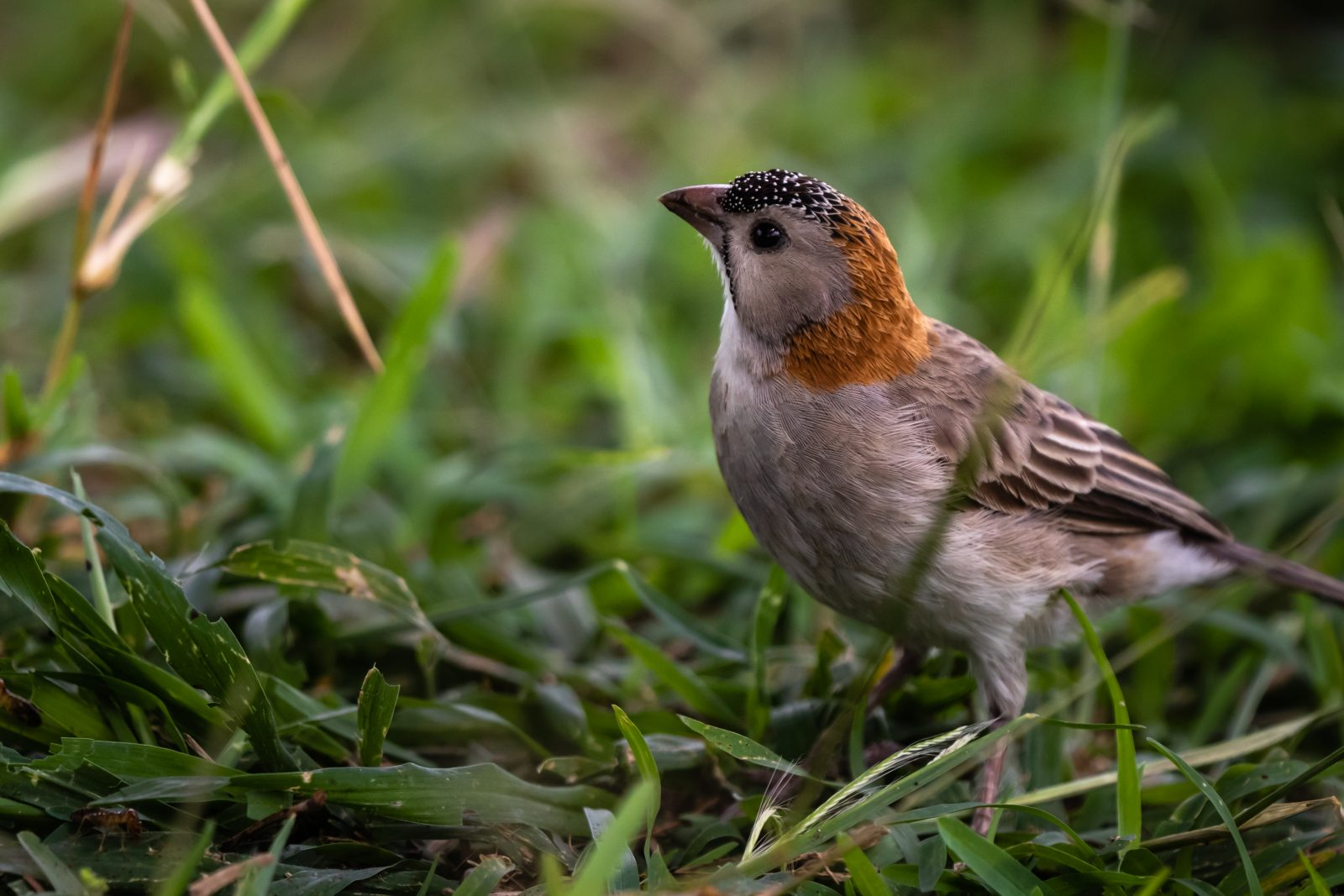 Speckle Fronted Sparrow Weaver 3