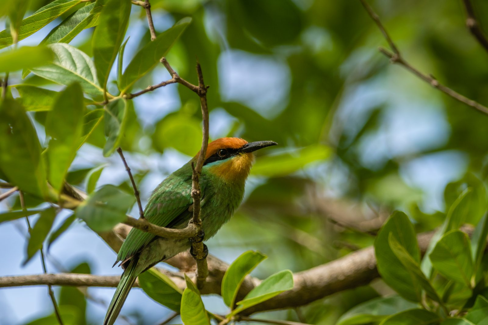 Bohm's Bee Eater Green on Green