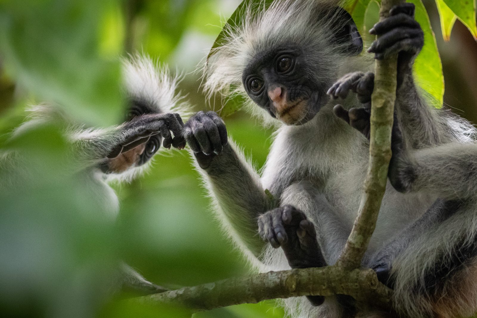 Red Colobus in the Green