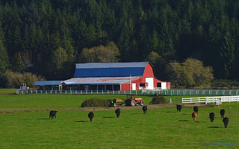 Cows Comming Home