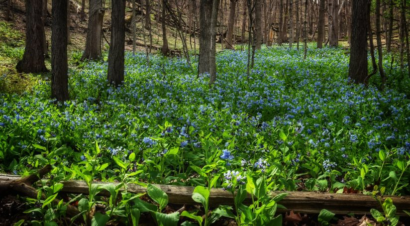 Midwest Bluebells