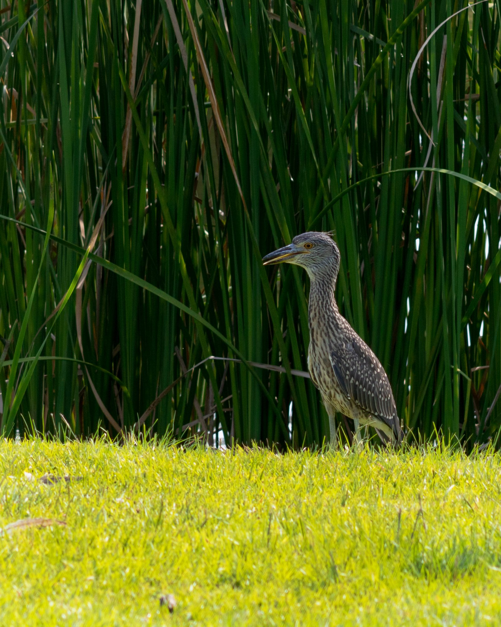 Young Heron Emerges from the Green Grass