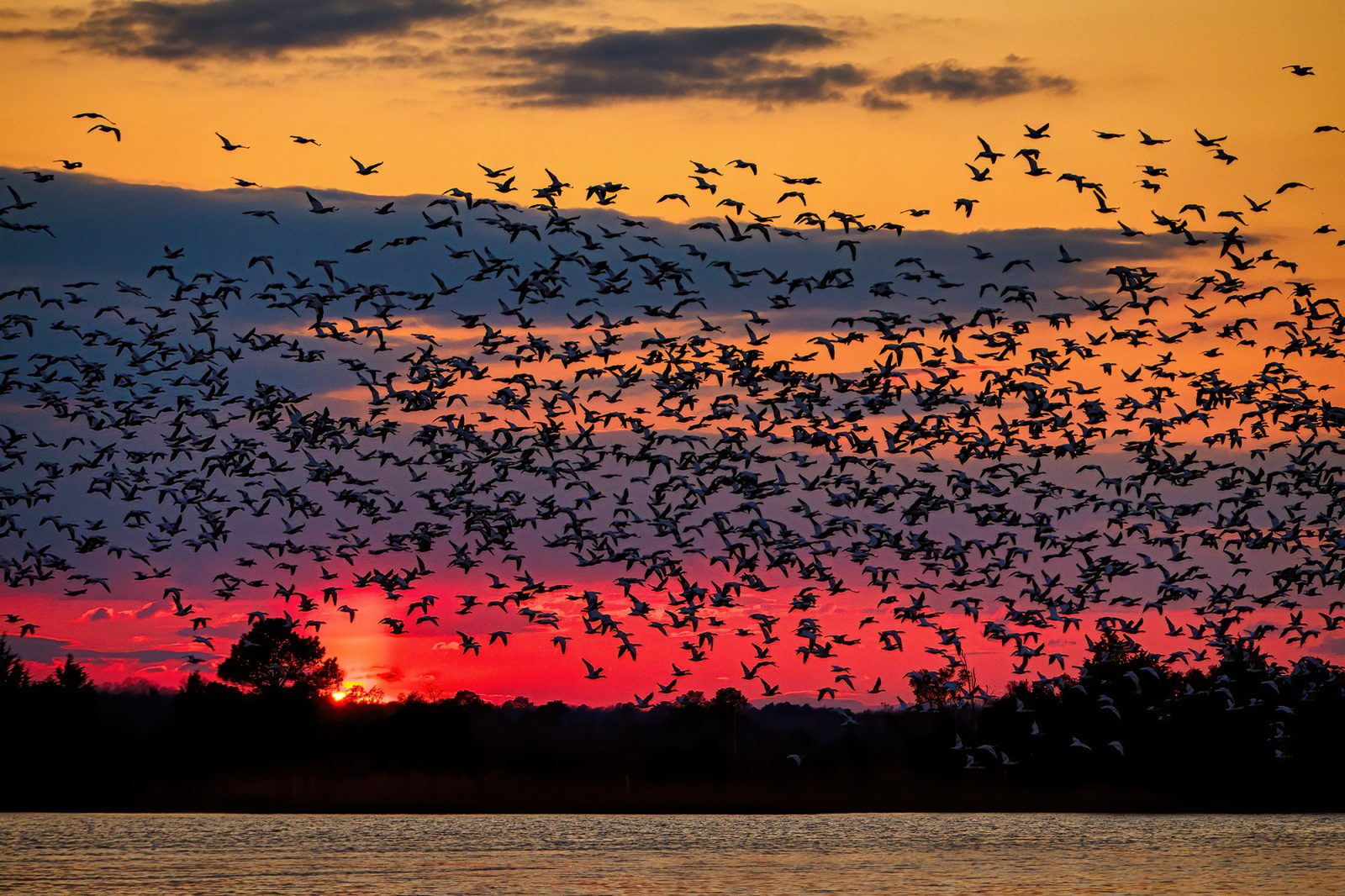 Great group dance of sunset and snowgoose