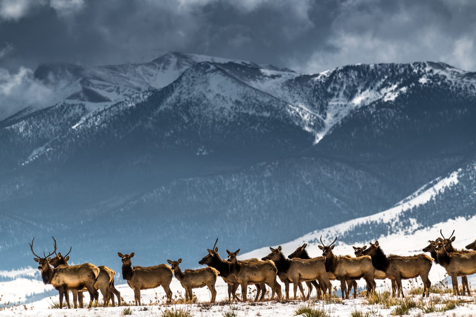 Elk Herd And Rocky Mountains