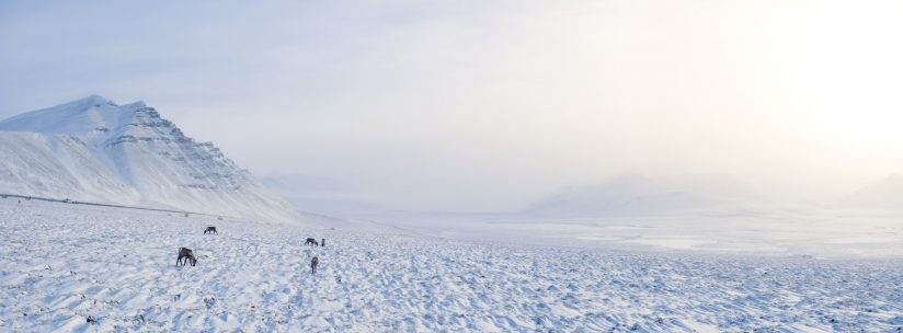 Ice Road Caribou