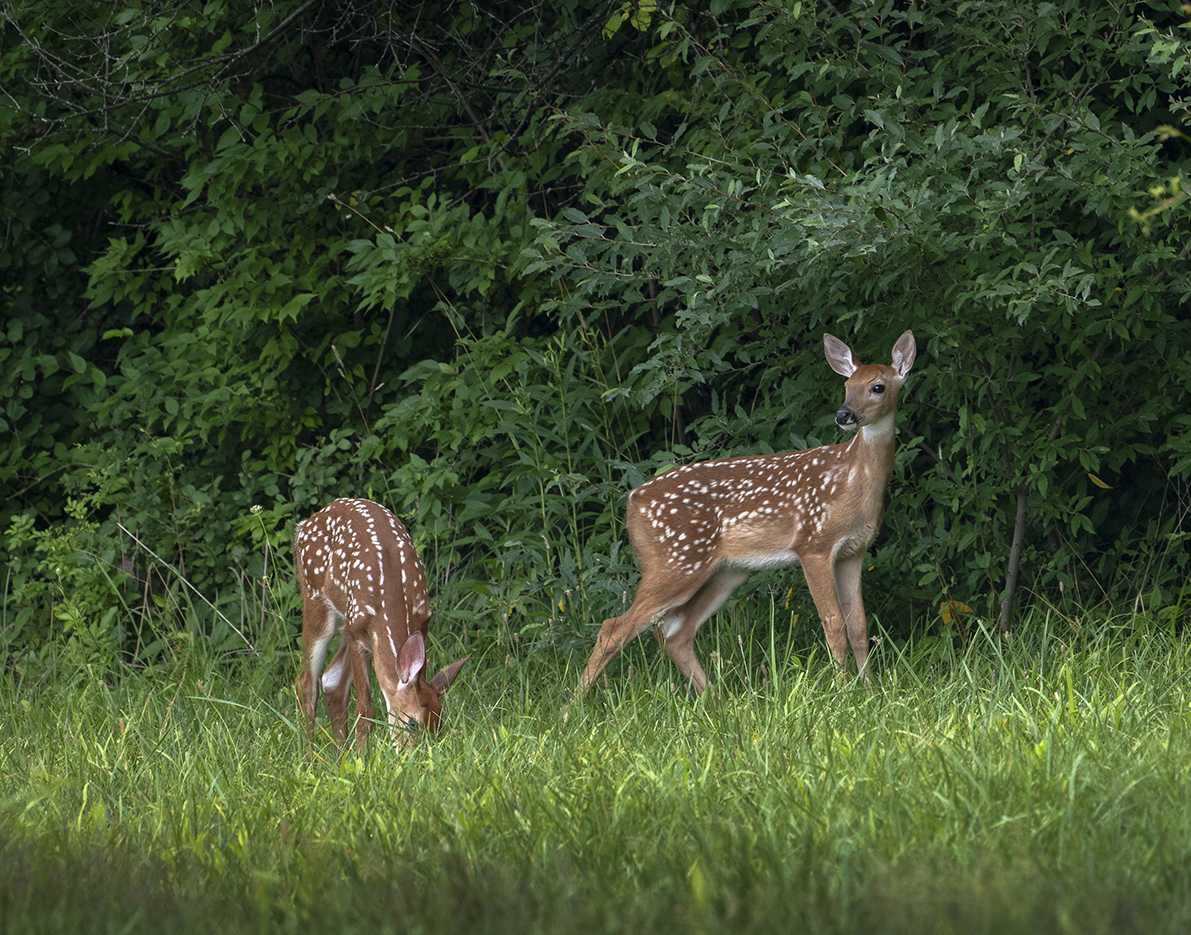 Fawns in the Lawn