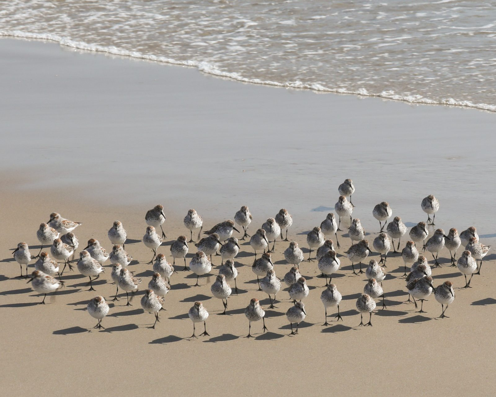 Snowy Plovers on the Shore