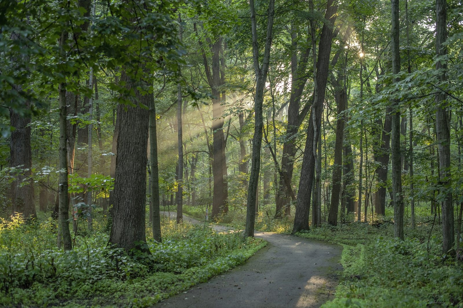 Sun Rays on the Forest Path
