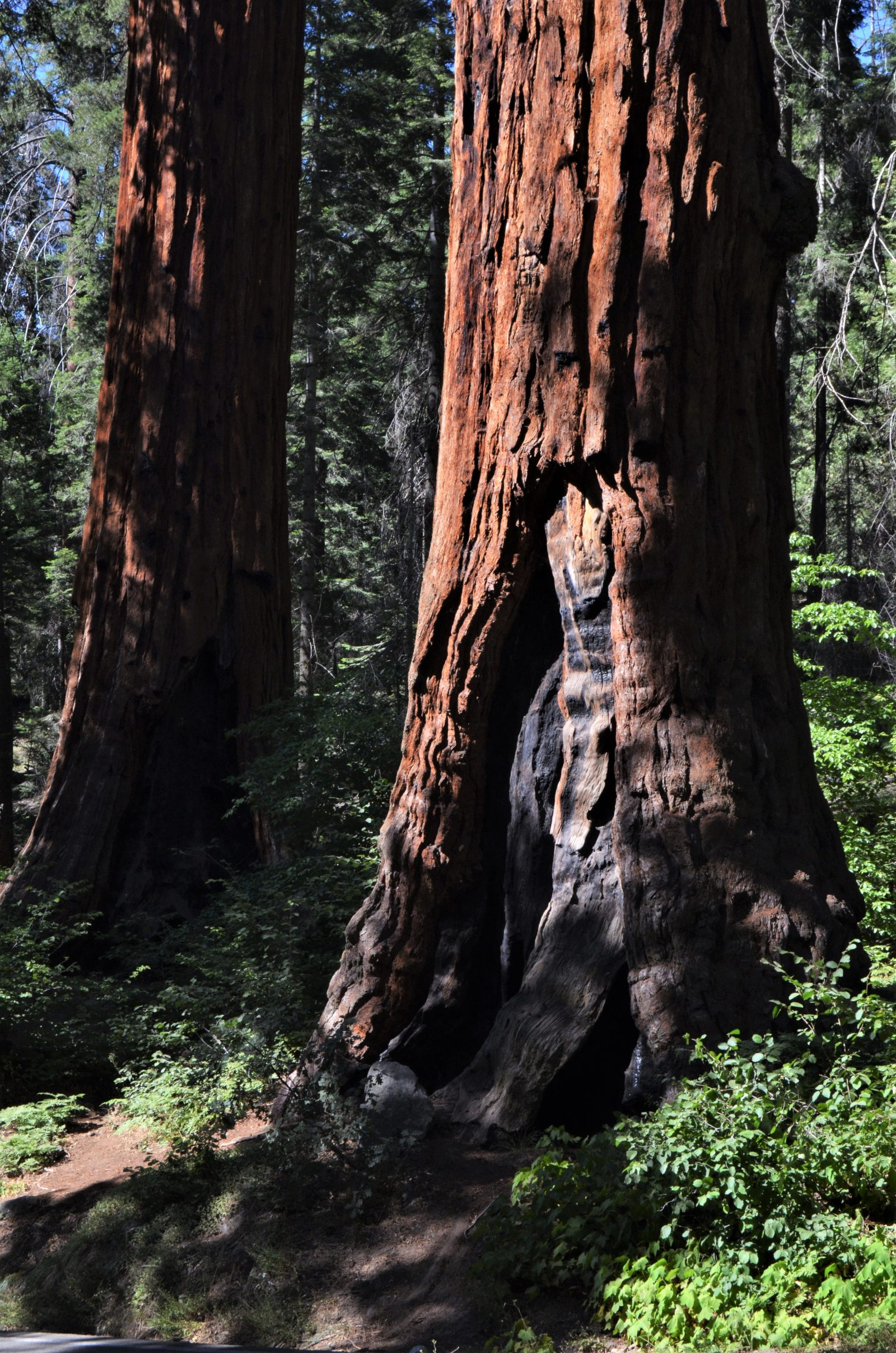 Afternoon Light & Rugged Sequoia Trunk