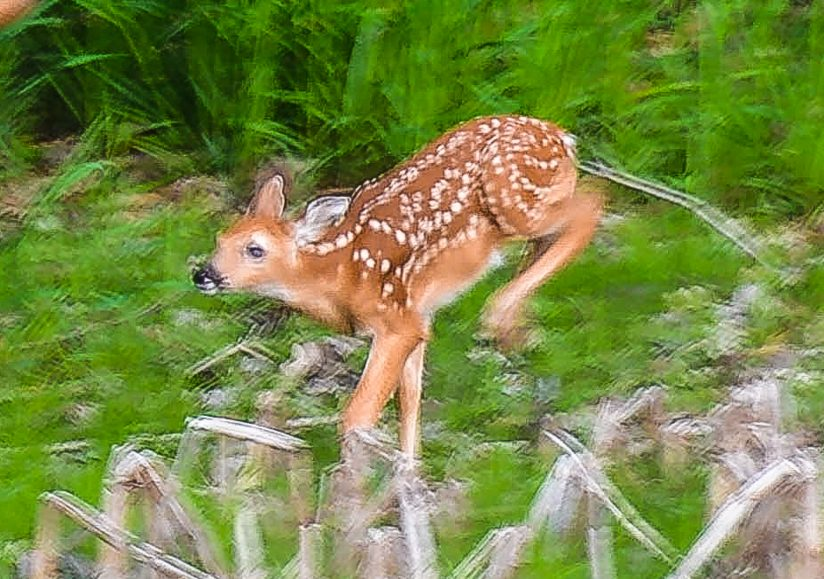 Excited Fawn