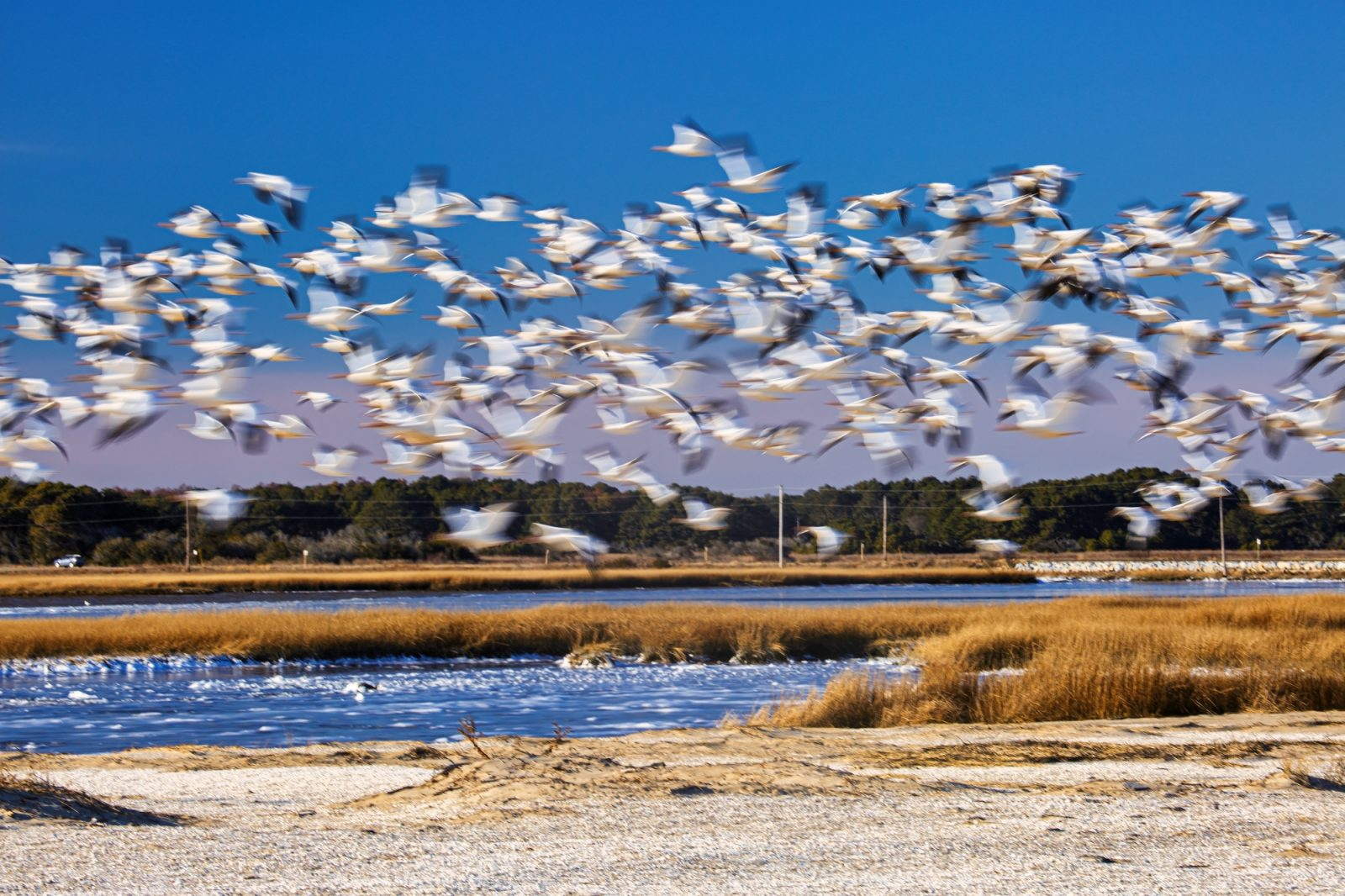 Snow Geese that looks like a paper airplane