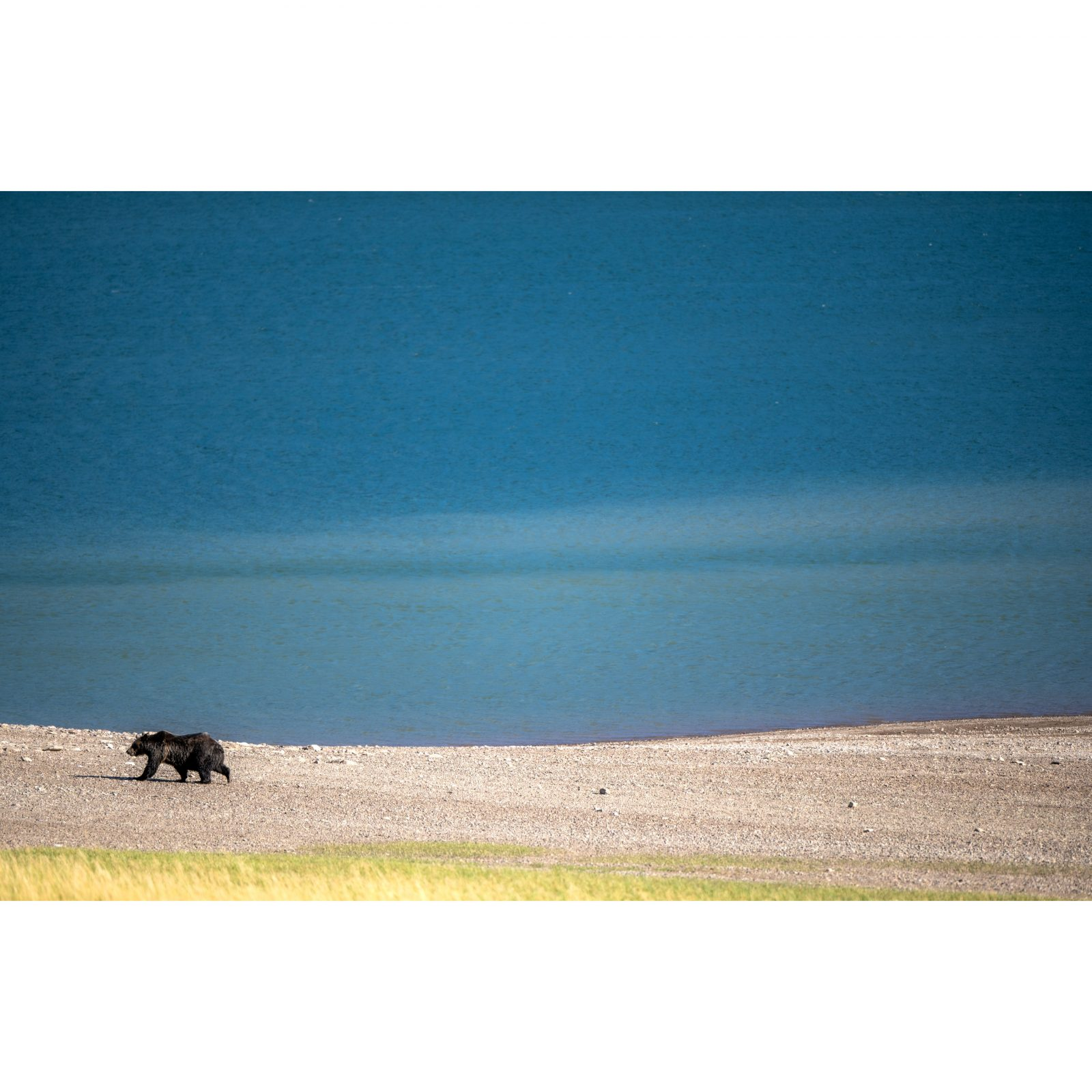 Grizzly Bears in Glacier NP