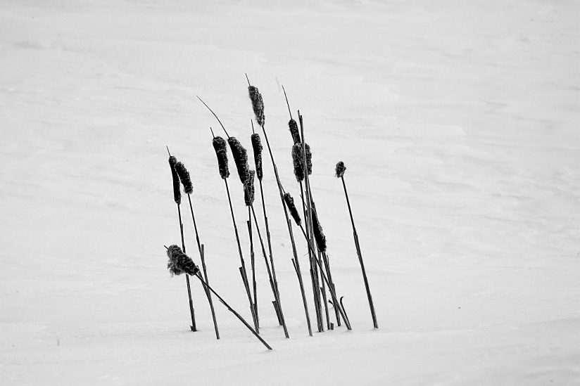 Cattails in the snow-1