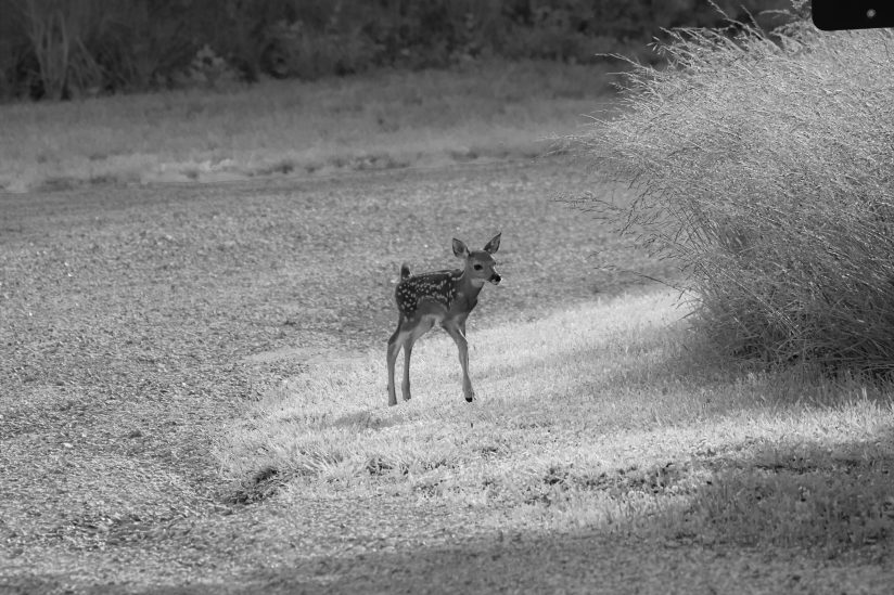 Fawn in the evening