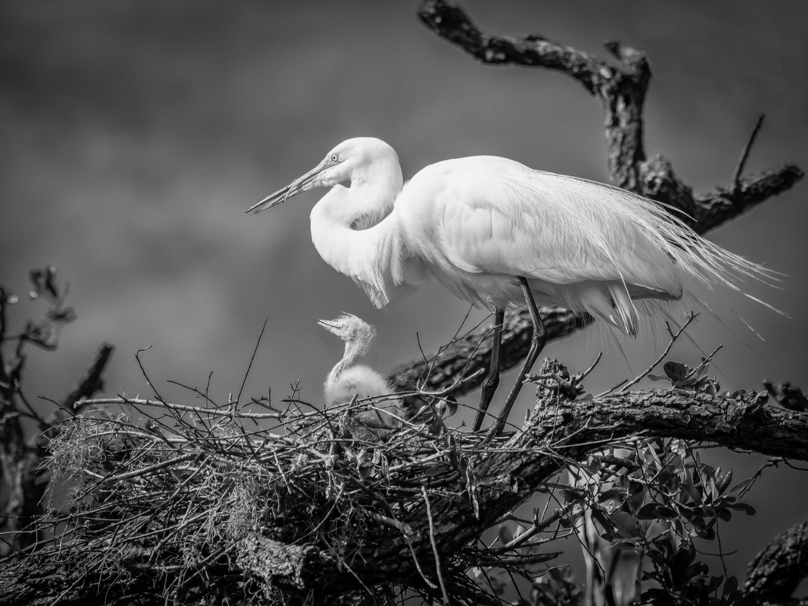 Egret and Chick
