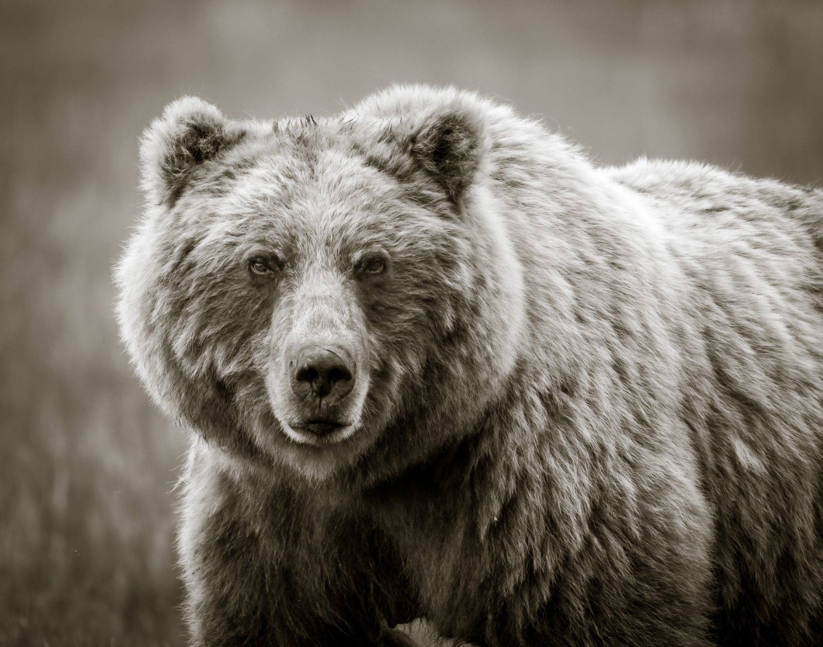 Grizzly in Black and White