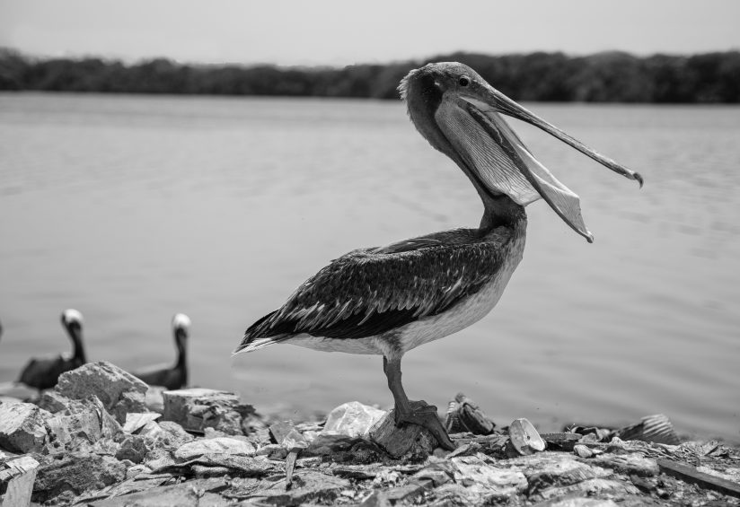 Brown Pelican foraging for food