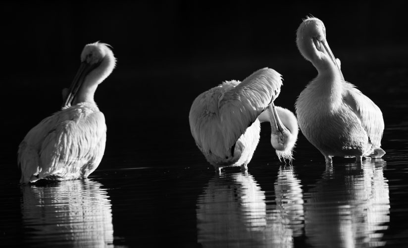 American White Pelicans waking up