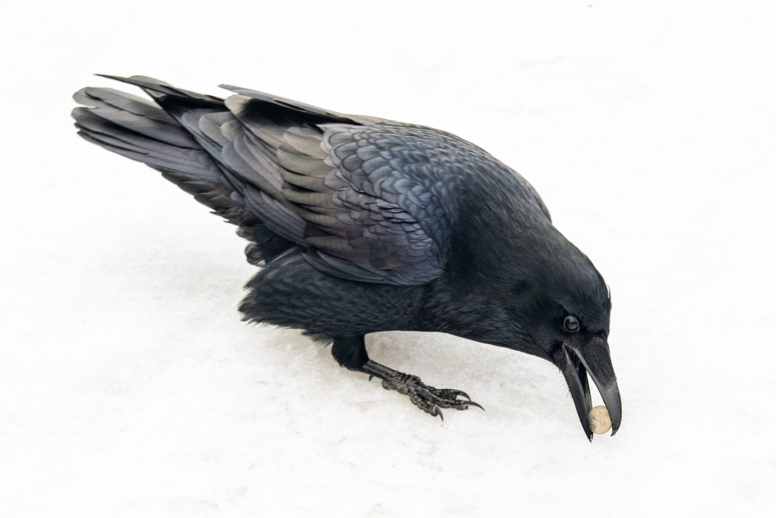 Raven and Snow…Nature's Black and White