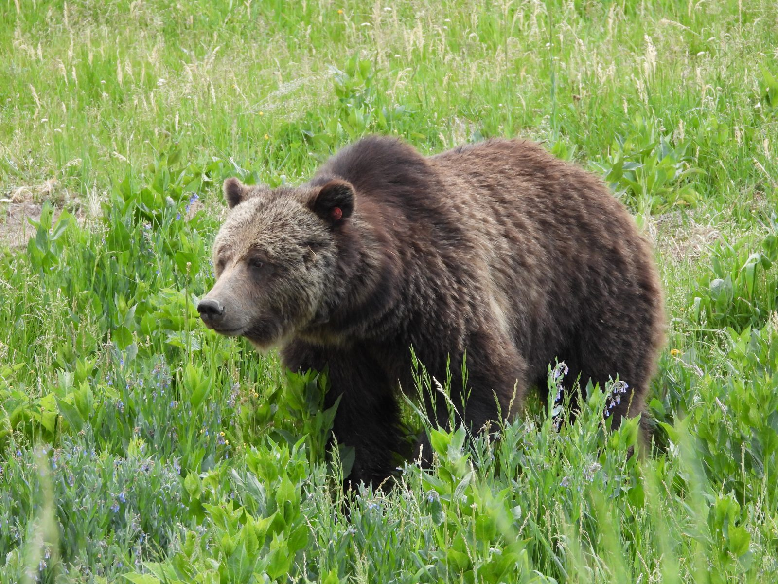 Grizzly in Meadow