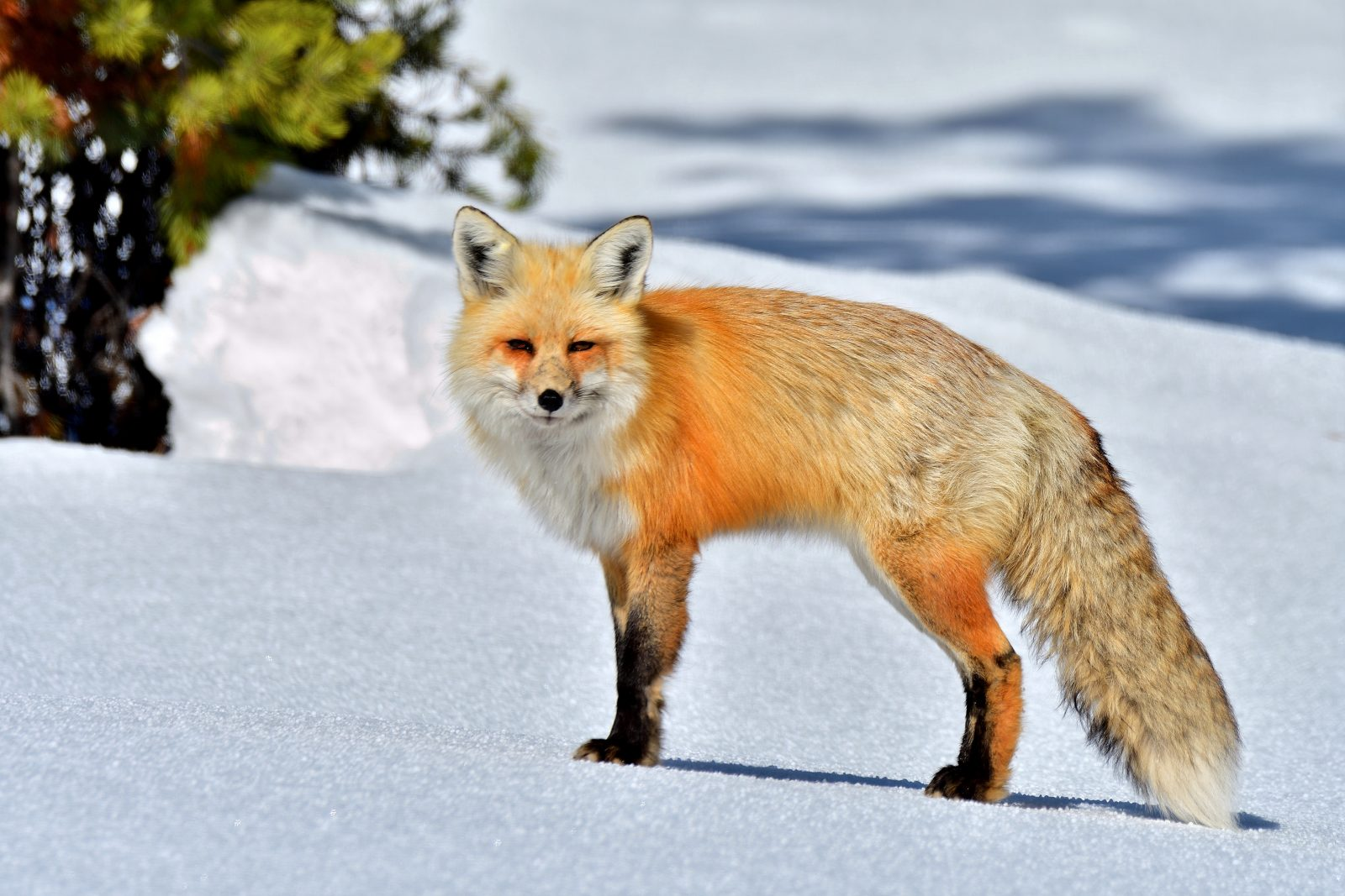 Foxy March Morning