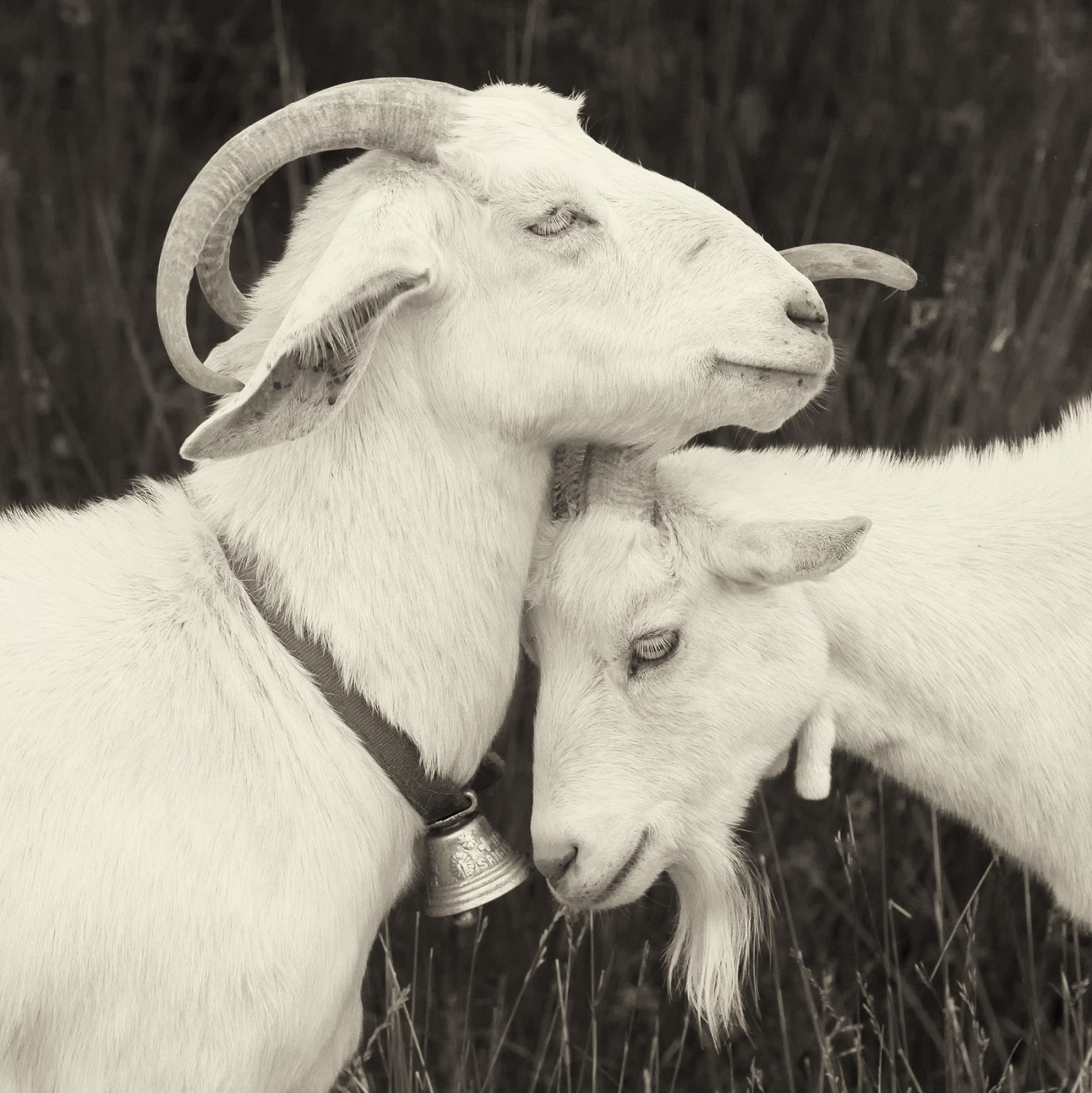 The Goats of Roan – Bell-Ringer