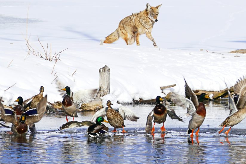 Bedlam On The Pond