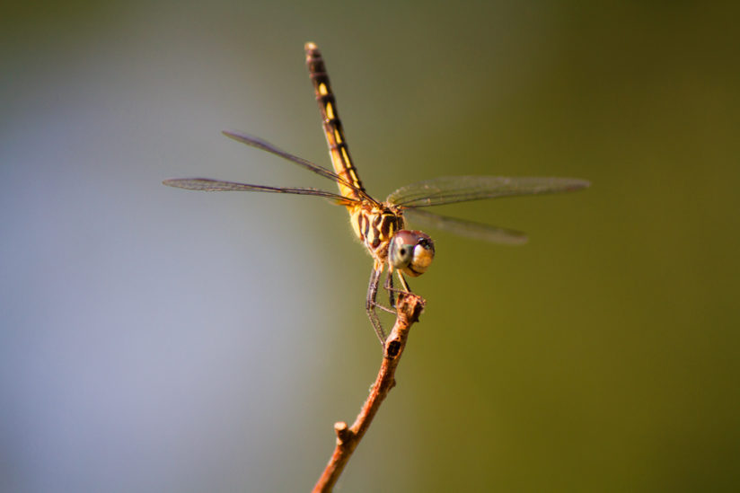 Female Blue Dasher at Sunset