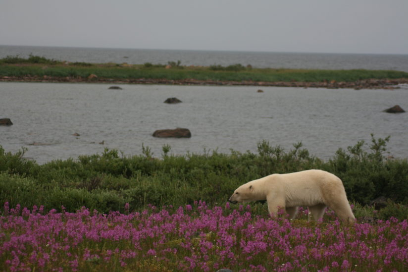 White Bear, Red Flowers