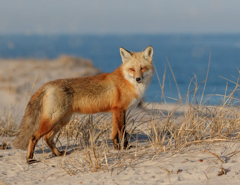 Red Fox at the Jersey Shore