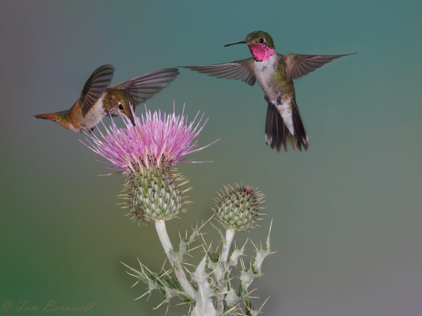 BroadTail Hummingbirds Feed at a Thistle