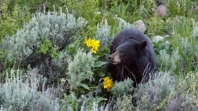 Black Bear in Arrowhead Balsamroot