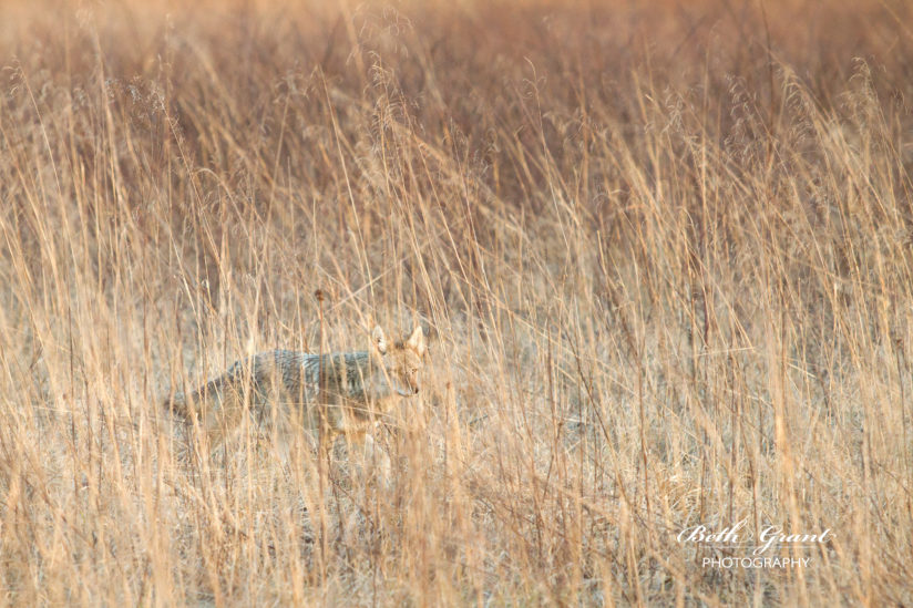Eastern Coyote on the Hunt