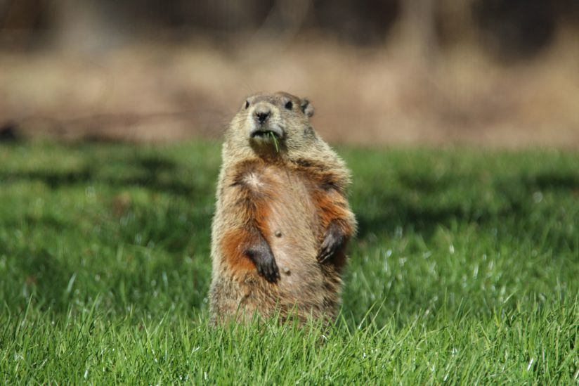 WoodChuck Munching a Blade of Grass