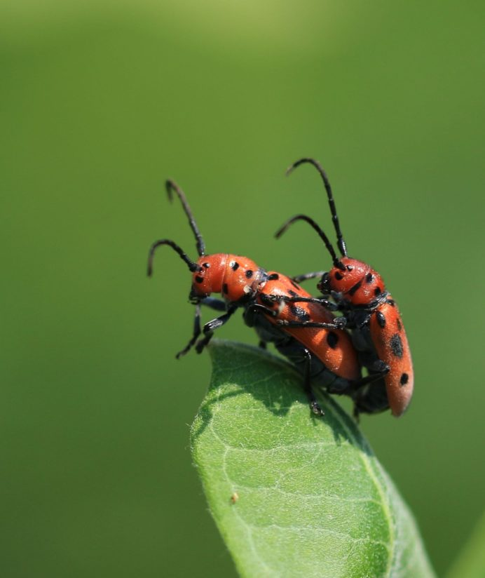 Red Bugs Mating
