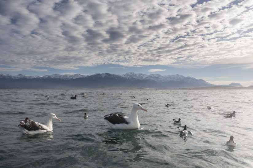 Sea Sky Snowy Mountains and Albatrosses