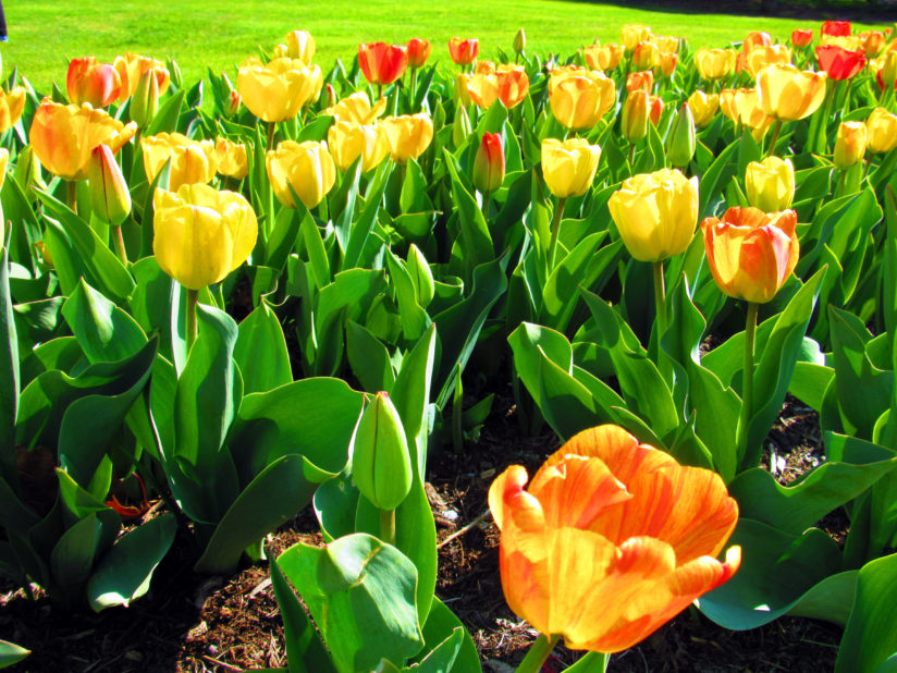 Row of Tulips