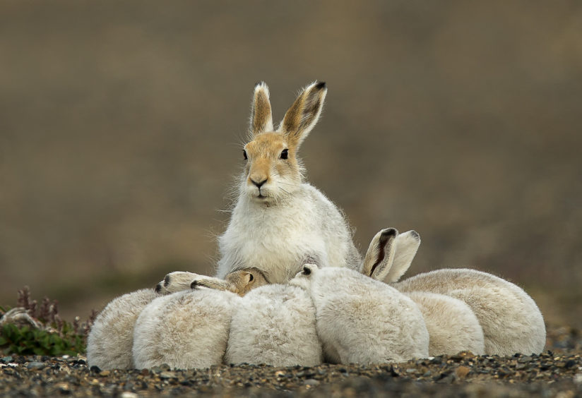 Arctic Hare family feeding