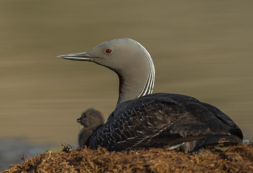Red-trothed loon and chick