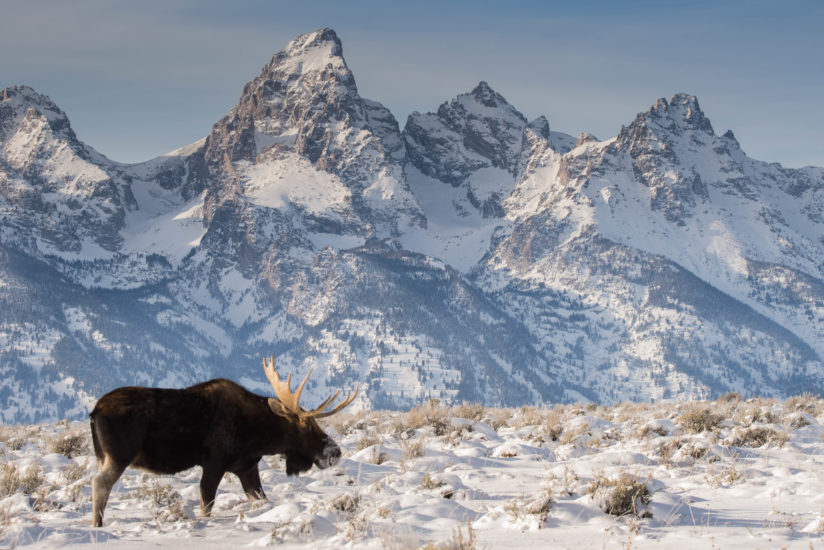 Bull Moose in Front of Tetons