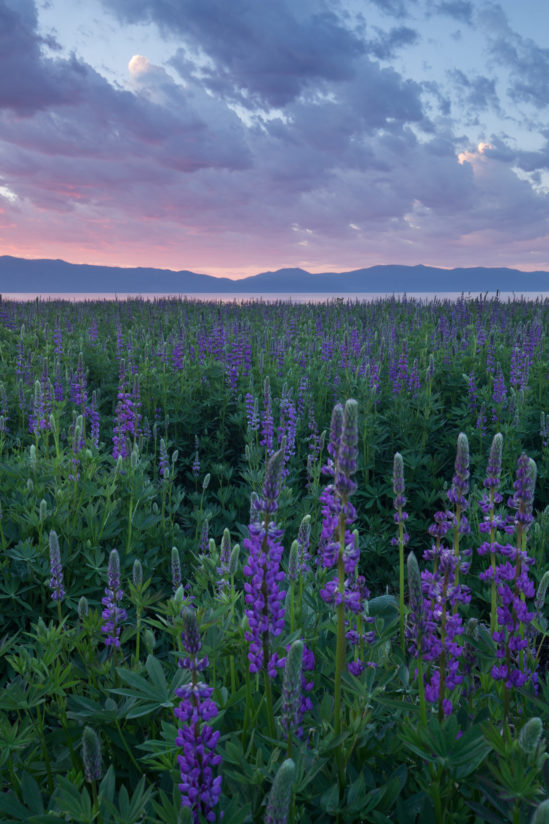 Lupine blooms, Lake Tahoe