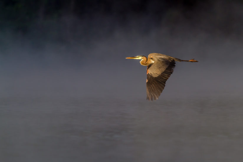 Great Blue Heron Flying Over Kincaid Lake