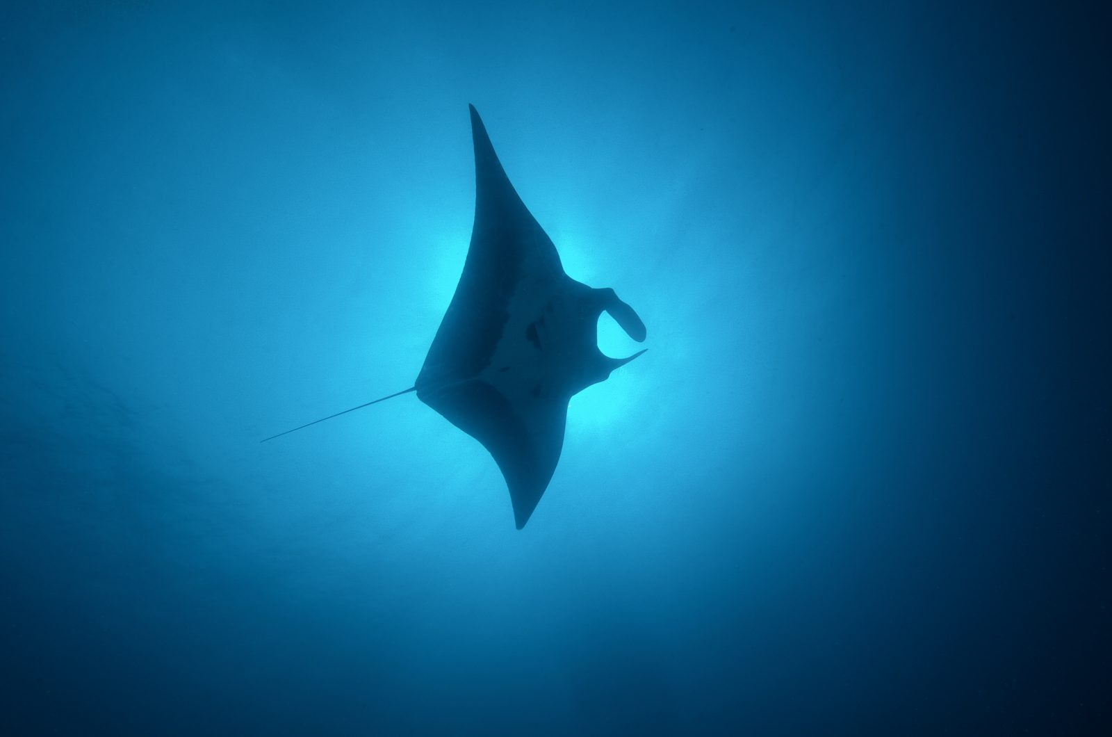 Manta Ray Gliding Through Sun