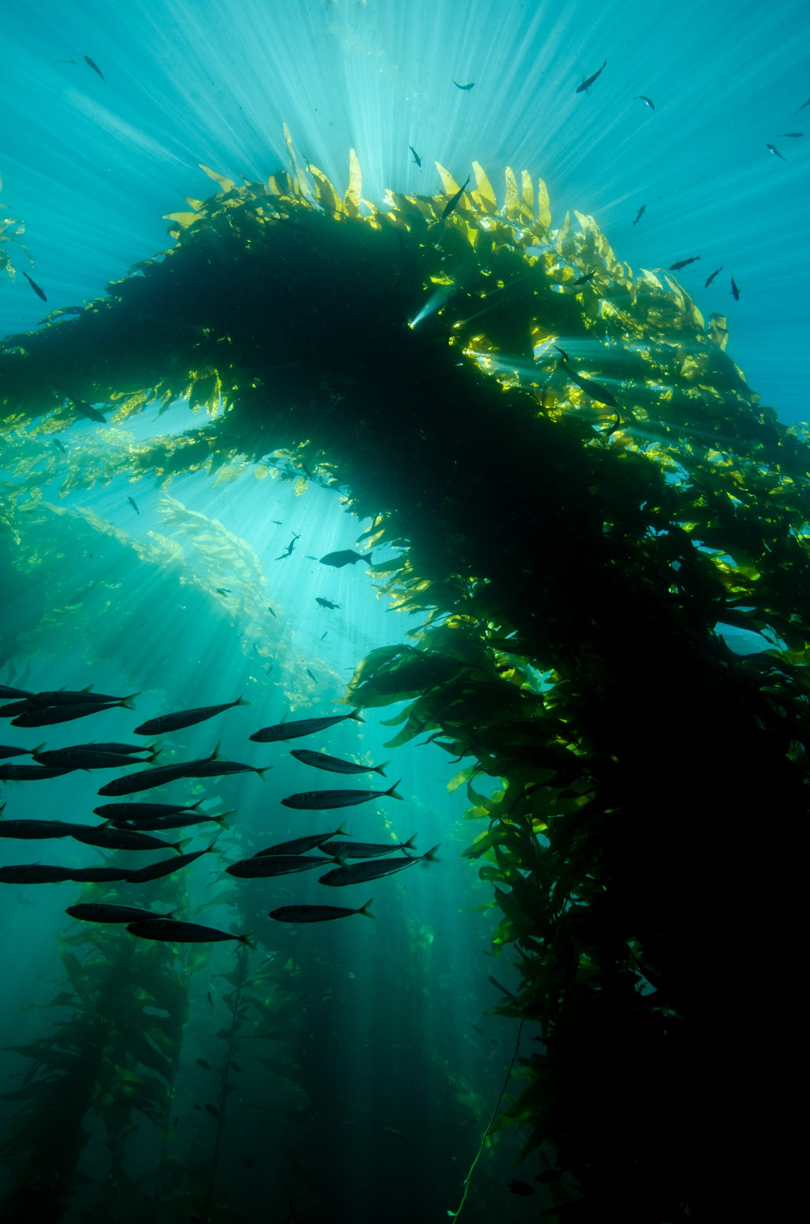 Sun Rays Through A Kelp Forest