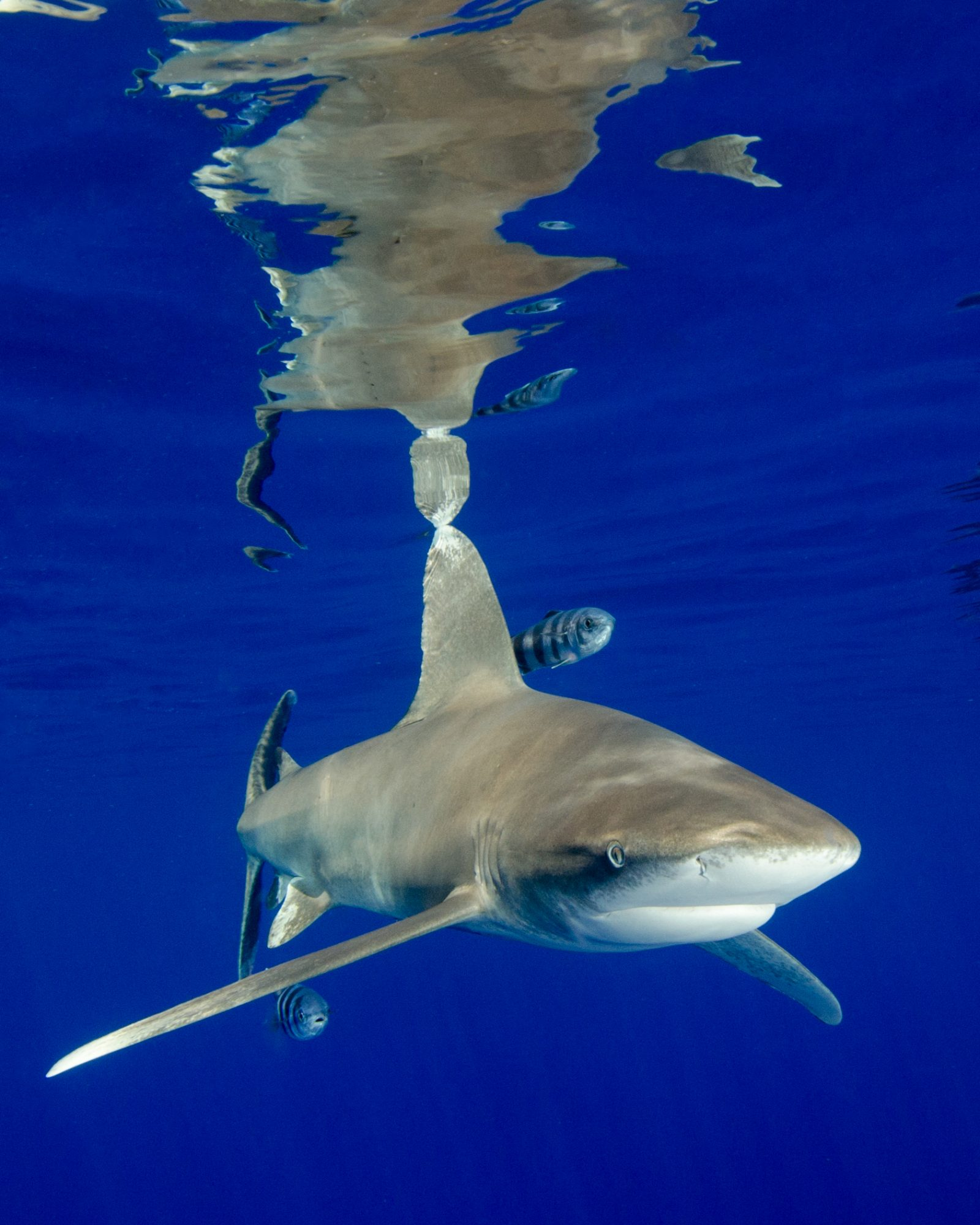 Oceanic White Tip Shark and Surface Reflections