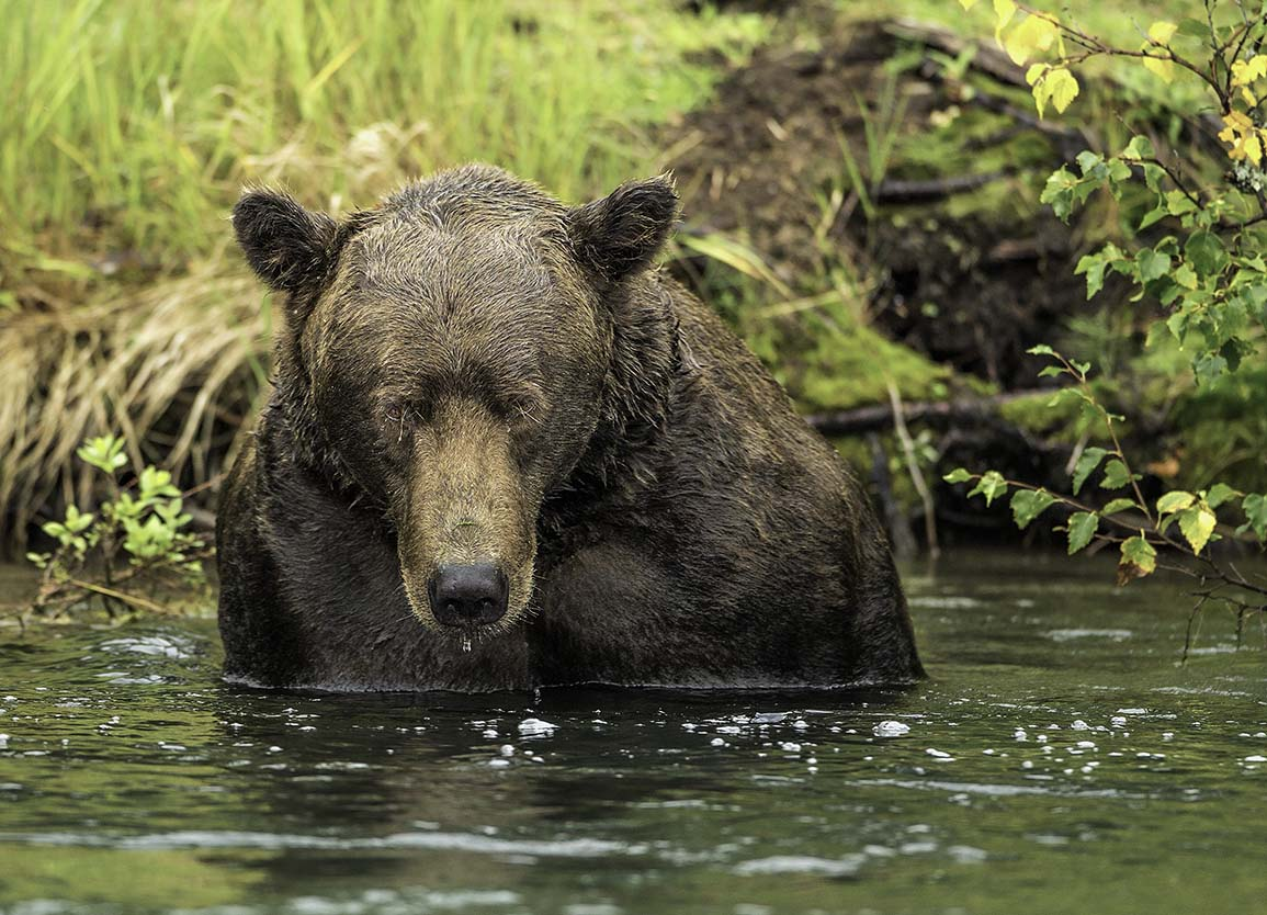 Grizzly Bear watching me