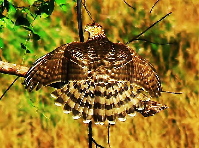 Broad-winged Hawk in full display