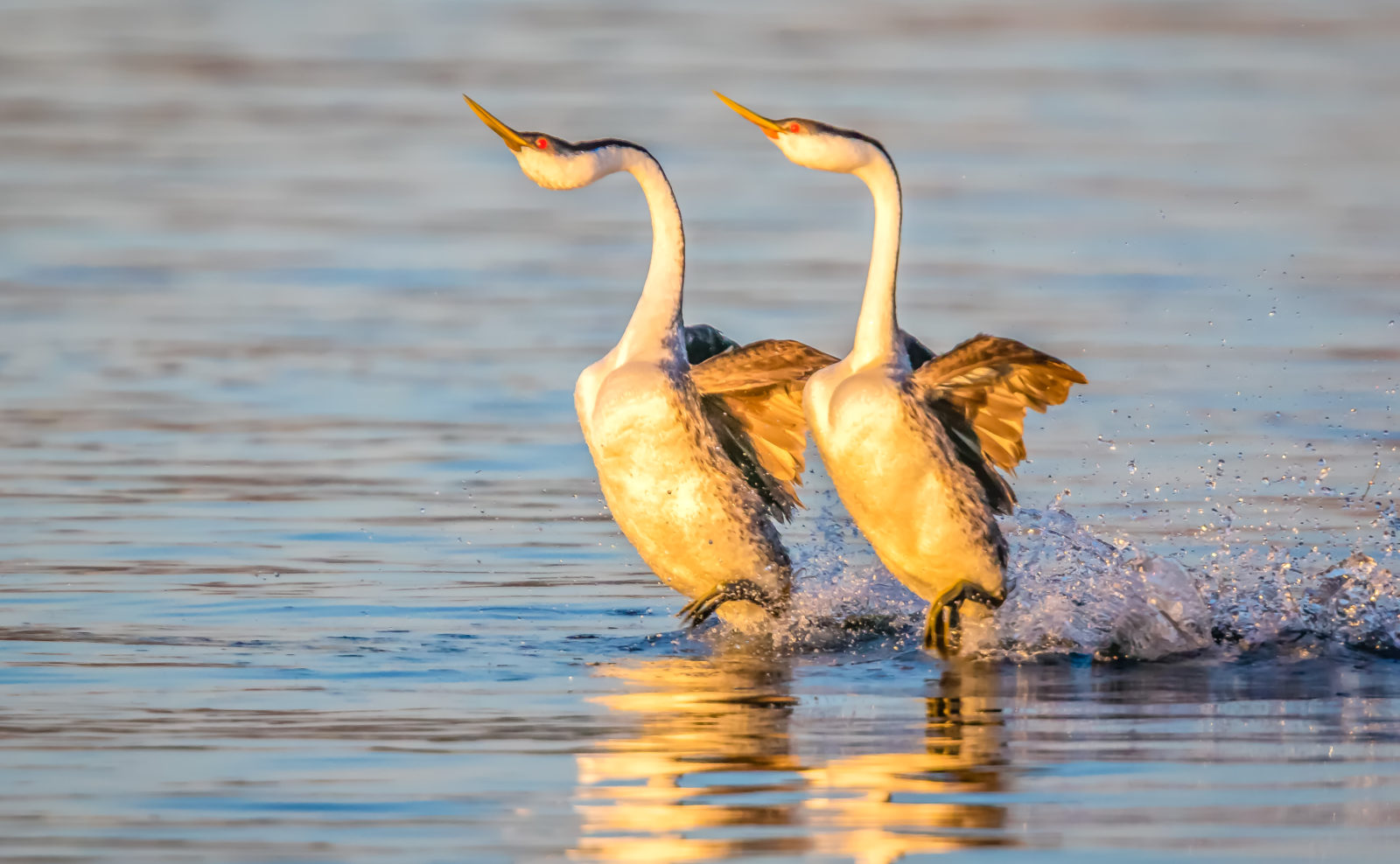Grebe Courtship Dance