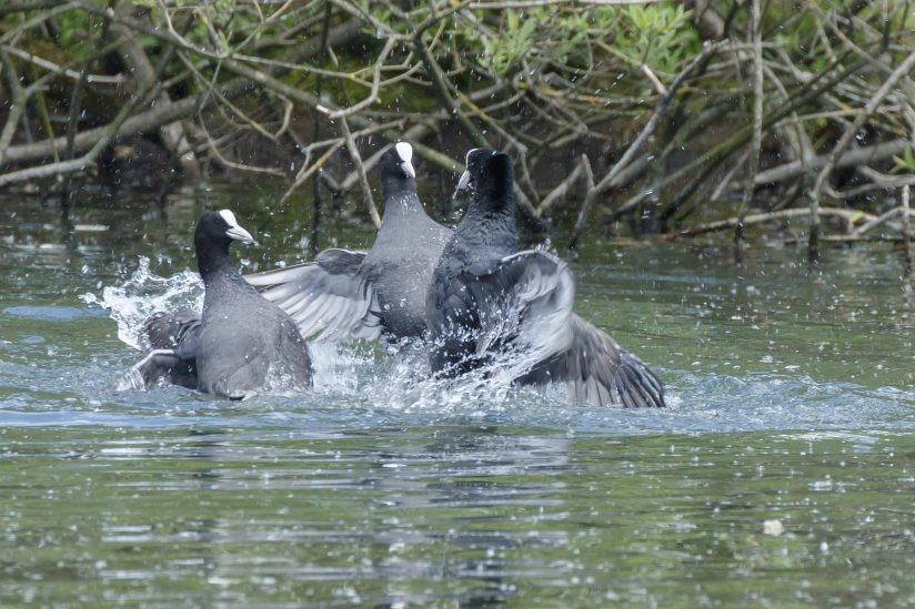 Fighting Coots (Fulica Atra)